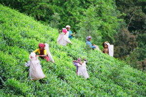 Tea pickers in Wayanad District of India